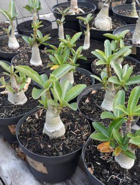 Adenium Thaisoco GOLDEN CROWN Usia 6 - 9 bulan
