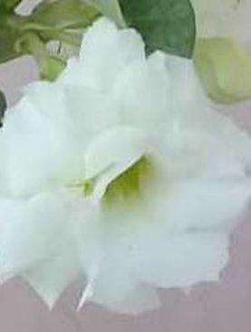 Sinisuka White